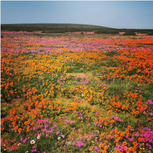 Blooming Mad Over the Western Cape West Coast's Wildflowers